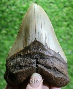 Megalodon Shark Tooth 4.92 Extinct Fossil Authentic NOT RESTORED (CG19-89)