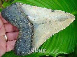 Megalodon Shark Tooth 5 & 1/2 REAL FOSSIL NORTH CAROLINA NO RESTORATION