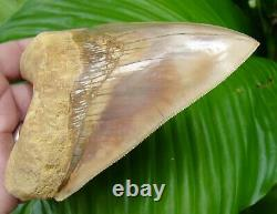 Megalodon Shark Tooth 5 & 1/4 INDONESIAN SUPER COLORFUL HIGH GRADE