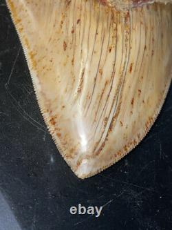 Megalodon Shark Tooth 5.1 in. COLORFUL INDONESIAN real asian fossil