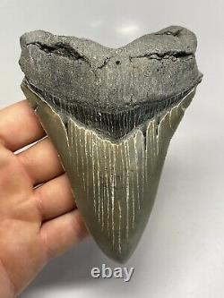 Megalodon Shark Tooth 5.20 Serrated Beautiful Fossil Authentic 6735