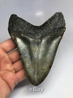 Megalodon Shark Tooth 5.27 Amazing Beautiful Fossil Real 4827