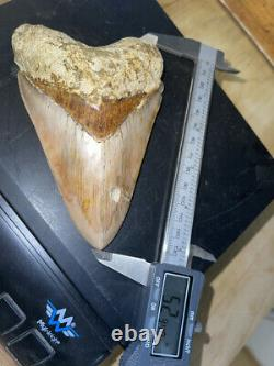 Megalodon Shark Tooth 5.2 in. COLORFUL INDONESIAN real asian fossil