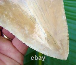 Megalodon Shark Tooth 5 & 3/4 in. BEAUTIFUL INDONESIAN ASIAN NO RESTO