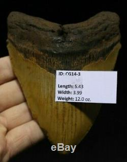 Megalodon Shark Tooth 5.43 Extinct Fossil Authentic NOT RESTORED (CG14-3)