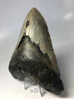 Megalodon Shark Tooth 5.47 Huge Big Fossil No Restorations 3842