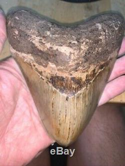 Megalodon Shark Tooth 5.4 in. COLORFUL INDONESIAN Indonesia south asia fossil