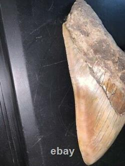 Megalodon Shark Tooth 5.4 in. COLORFUL INDONESIAN real asian fossil