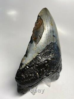 Megalodon Shark Tooth 5.53 Huge Beautiful Fossil Real 6839