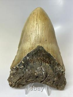 Megalodon Shark Tooth 5.55 Beautiful Big Fossil Real 7527