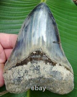 Megalodon Shark Tooth 5 & 5/8 BIG BLUE SUPER QUALITY INDONESIAN