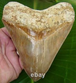 Megalodon Shark Tooth 5 & 5/8 in. TOP 1% INDONESIAN REAL FOSSIL