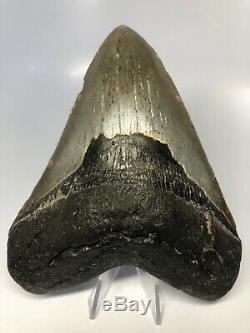 Megalodon Shark Tooth 5.67 Amazing Huge Fossil No Restoration 4527