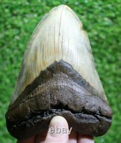 Megalodon Shark Tooth 5.67 Extinct Fossil Authentic NOT RESTORED (CG18-3)