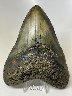 Megalodon Shark Tooth 5.72 Unique Beautiful Fossil Huge 7337