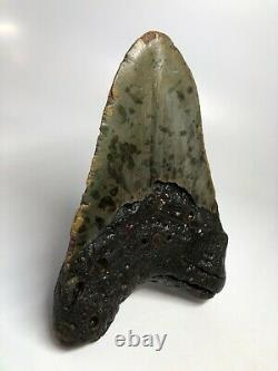 Megalodon Shark Tooth 5.74 Unique Shape Wide Fossil Real 4696
