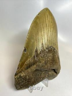 Megalodon Shark Tooth 5.76 Huge Real Fossil No Restoration 8128