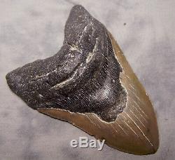 Megalodon Shark Tooth 5 7/16 Shark Teeth Extinct Jaw Fossil Meg Teeth Megladon