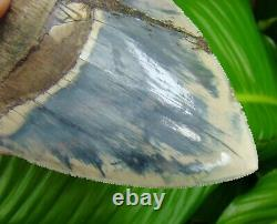 Megalodon Shark Tooth 5 & 7/16 in. CRAZY BLUE INDONESIAN REAL FOSSIL