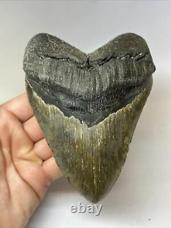 Megalodon Shark Tooth 5.80 Huge Authentic Fossil Natural 7898