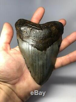 Megalodon Shark Tooth 5.81 Beautiful Real Natural Fossil 3915