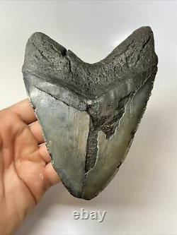 Megalodon Shark Tooth 5.82 Huge Wide Fossil Real 9559