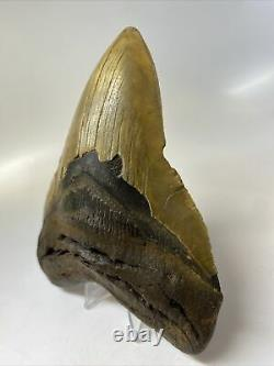 Megalodon Shark Tooth 5.85 Huge Amazing Fossil Authentic 7540