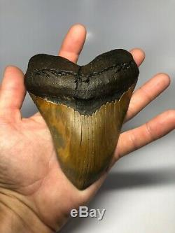Megalodon Shark Tooth 5.87 Amazing Serrated Perfect Fossil REAL 3971