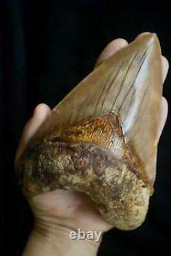 Megalodon Shark Tooth 5,87'' Huge Lower Anterior Indo NO REPAIR NO RESTORATION