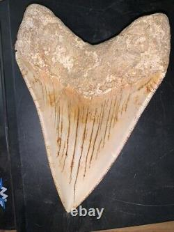 Megalodon Shark Tooth 5.8 in. COLORFUL INDONESIAN real asian fossil