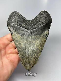 Megalodon Shark Tooth 5.90 Huge Real Fossil Natural 5719