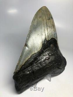 Megalodon Shark Tooth 5.92 Giant Amazing Fossil No Restoration 5090