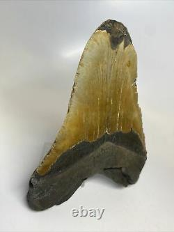 Megalodon Shark Tooth 5.92 Huge Real Fossil Natural 9960