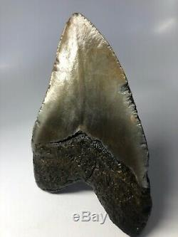 Megalodon Shark Tooth 5.93 Amazing Real Fossil NO RESTORATION 3912