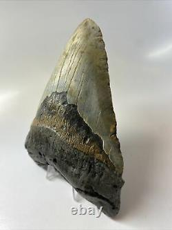 Megalodon Shark Tooth 5.93 Huge Real Fossil Natural 9224