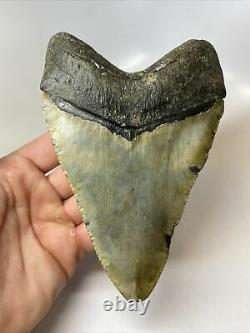 Megalodon Shark Tooth 5.94 Massive Authentic Amazing Fossil 8915