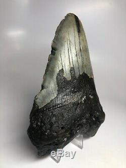 Megalodon Shark Tooth 5.96 Huge Real Natural Fossil 5032