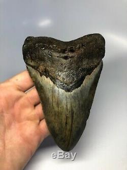 Megalodon Shark Tooth 5.97 Huge Amazing Fossil No Restoration 4533