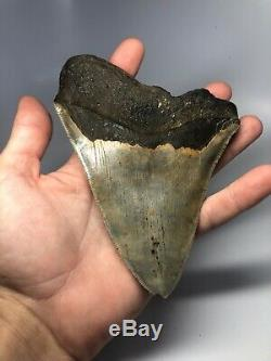 Megalodon Shark Tooth 5.97 Huge Serrated Natural Fossil 4157