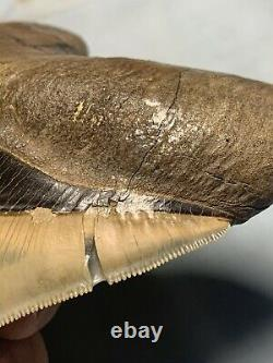 Megalodon Shark Tooth, 5 inches, Extremely Rare, Museum Quality Fossil Collection