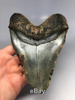 Megalodon Shark Tooth 6.00 Huge Natural Fossil No Restoration 4622