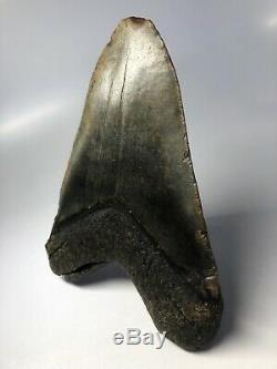 Megalodon Shark Tooth 6.04 Huge Natural Fossil No Restoration 5091