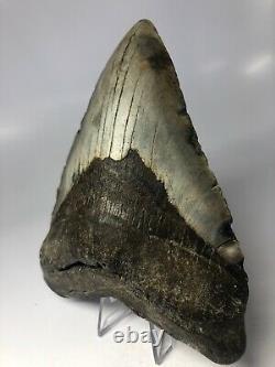 Megalodon Shark Tooth 6.08 Massive Real Fossil NO RESTORATION 3867