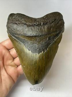 Megalodon Shark Tooth 6.13 Huge Wide Fossil Authentic 8445