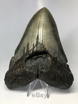 Megalodon Shark Tooth 6.17 Huge Rare Fossil No Restoration 3810
