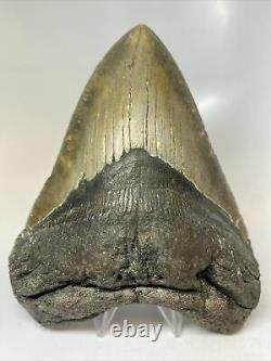 Megalodon Shark Tooth 6.17 Monster Natural Fossil Authentic 7682