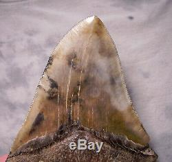 Megalodon Shark Tooth 6 1/2 Real Fossil Tooth No Restoration Megladon Giant