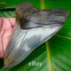 Megalodon Shark Tooth 6 & 1/4 in. BEST of the BEST MUSEUM GRADE REAL