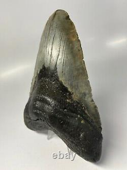 Megalodon Shark Tooth 6.21 Huge Natural Fossil Heavy 5557