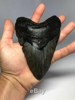 Megalodon Shark Tooth 6.21 Monster Fossil No Restoration 3997